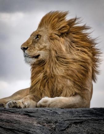 Il Re. Tanzania, Serengeti National Park