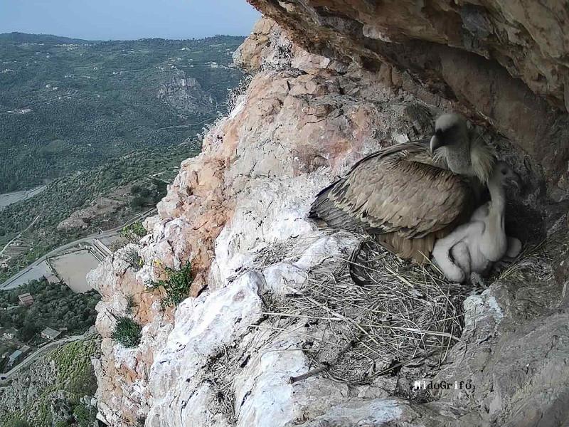 Un'immagine straordinaria del nido di un grifone. Foto Parco dei Nebrodi