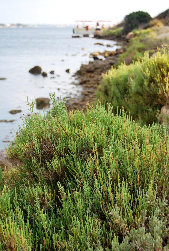 Lungo i sentieri di Mozia ciuffi di salicornia, l'asparago di mare. Lo avete mai assaggiato?