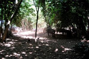 Il Suino Nero dei Nebrodi. Animale icona del parco