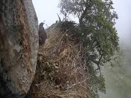 Monitoraggio nido aquila reale. Ph Parco dei Nebrodi