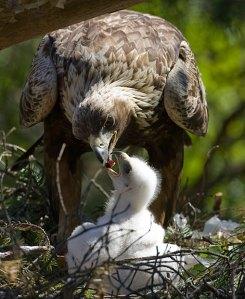 L'aquila reale e il Parco dei Nebrodi. Foto web
