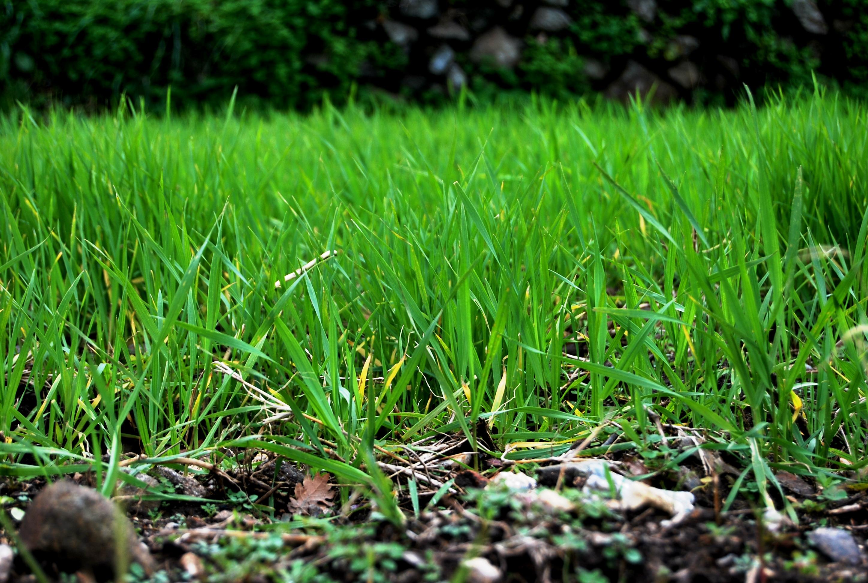 Il grano coltivato da Nino Crupi