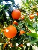 Gli agrumi siciliani